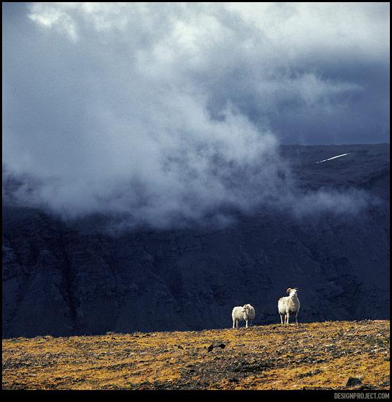 Овцы, обитающие на этих землях<br>в космических количествах,<br>в отличие от лошадей, очень тупы и пугливы. Дорога – это нескончаемое шоу убегающих овечьих задов.