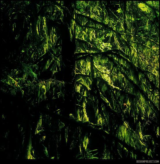 Непроходимые древние влажные леса острова ванкувер – место для отдельного погружения в природу. Деревья по 2-6 метров