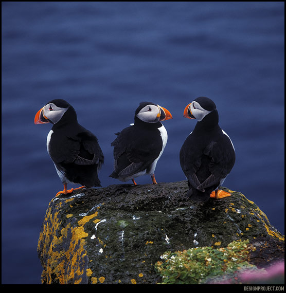 Тўпики – достопримечательность Исландии. Они одни из немногих птиц, которые практически не боятся человека, что, конечно же, умиляет и подкупает.