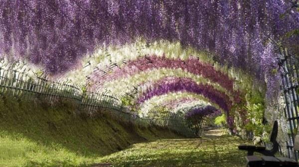 цветение глициний