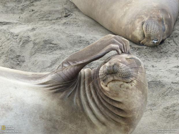 Морской слон чешет голову. Калифорния