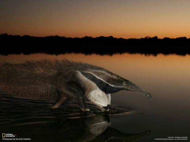 Гигантский муравьед идёт по воде. Бразилия.