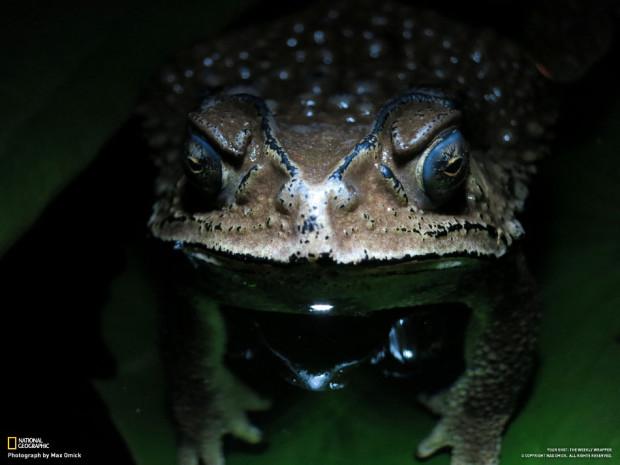 Азиатская жаба
