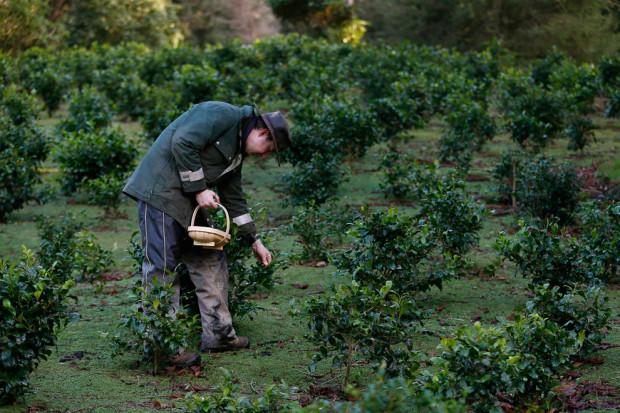 Уэсли Голдсворти собирает чайные листья в саду своего поместья. Климат этой местности похож на климат индийского округа Дарджилинг.