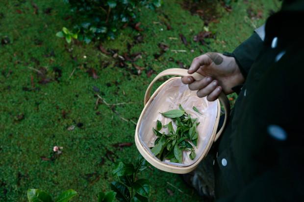 Чайные листья, которые насобирал Уэсли.