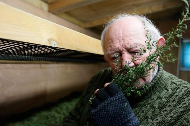 Работник Брайан Боуден нюхает веточку мануки в комнате для сушки чайных листьев.