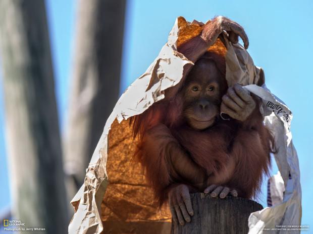 Орангутангу жарко, и он прикрывается от солнца бумажным пакетом в зоопарке Нового Орлеана. Jerr y Whitten