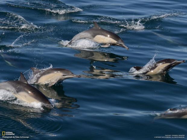 Дельфины спешат за исследовательской лодкой. Monterey Bay, Калифорния. Kate Cummings