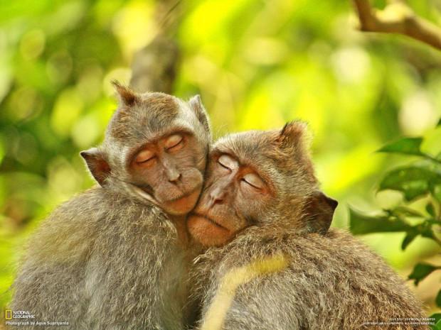 Две обезьяны сидят в обнимку в парке Monkey Forest на Бали. (Agus Supriyanto)