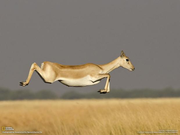 Животное в прыжке. (Kesavamurthy Narasimhamurthy)