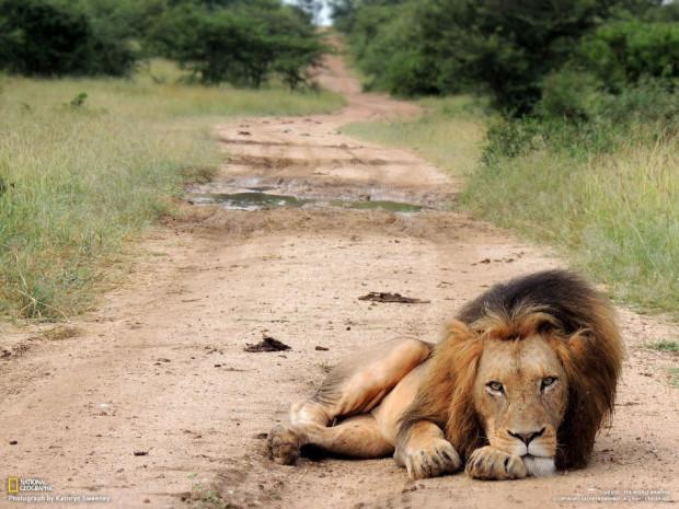 Старый лев отдыхает. Южная Африка. (Kathryn Sweeney)