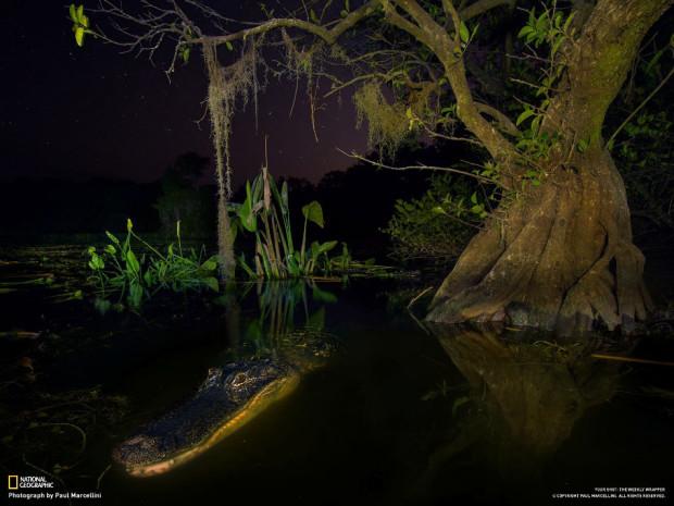 """Национальный парк Big Cypress, Флорида, США. """"Мы разбивали лагерь. Аллигатора привлёк шум, и он приплыл и внимательно смотрел, что мы делаем. Он был очень любезен и дал заодно нам поснимать себя"""". (Paul Marcellini)"""