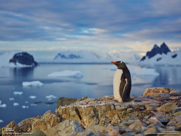 Пингвин на закате. (Markus Eichenberger)