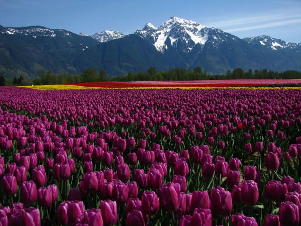 tulips20