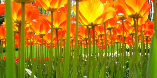 тюльпаны снизу