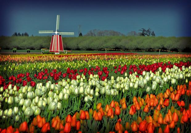 тюльпаны и мельница
