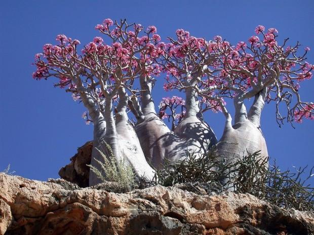 Роза пустыни (Адениум Сокотранум). Считается одним из самых красивых цветов пустыни. Ну, как, цветов... Высота до 3,5м, диаметр ствола - до 2,4м. Одни растения стремятся ввысь, другие вширь.