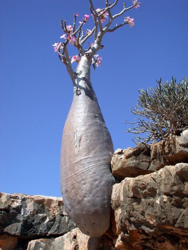 Socotra06