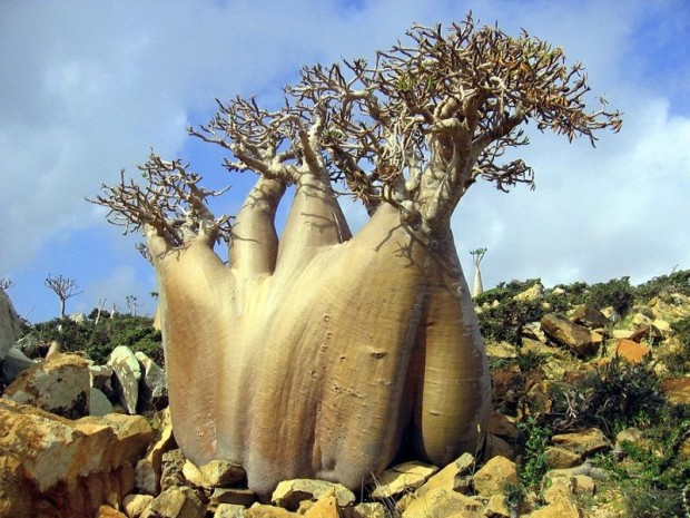 Socotra13