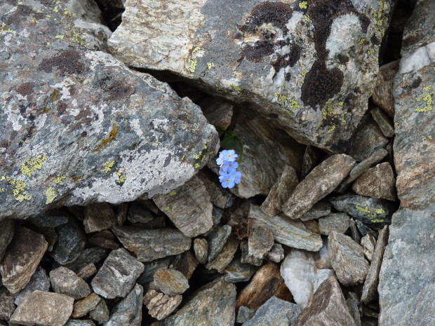 васильки в камнях