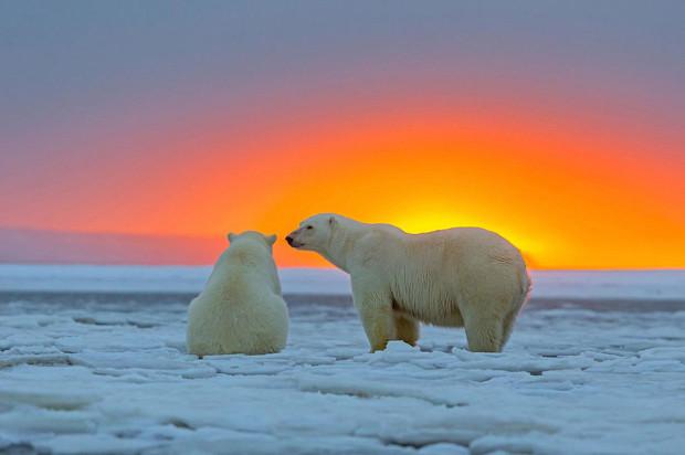 медведи в закате