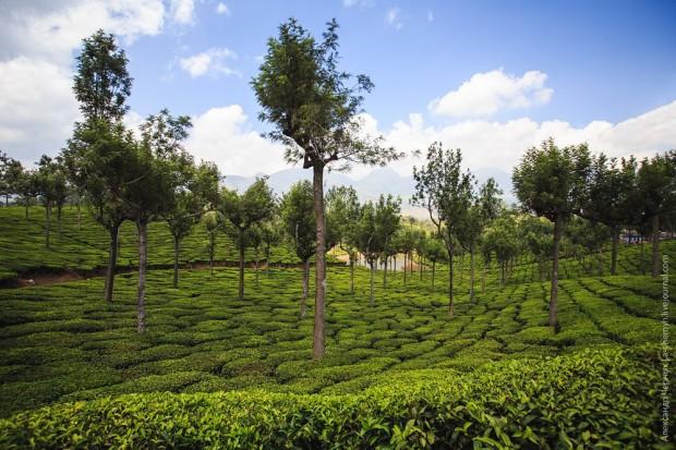 Если чайный куст не подрезать, то, со временем, он вырастает в такое вот дерево, которое обеспечивает участок тенью