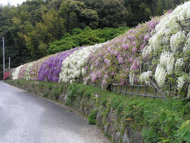 wisteria-flower-tunnel-kawachi-fuji-garden-japan-10
