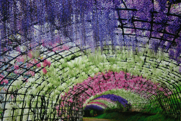 wisteria-flower-tunnel-kawachi-fuji-garden-japan-11