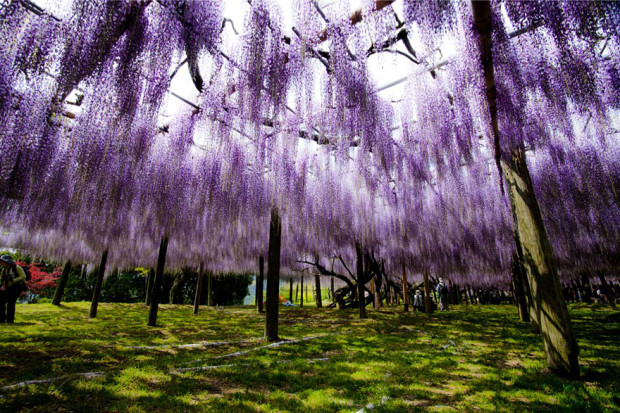 wisteria-flower-tunnel-kawachi-fuji-garden-japan-5