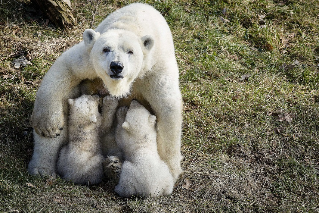 Polar bears in Rhenen Zoo