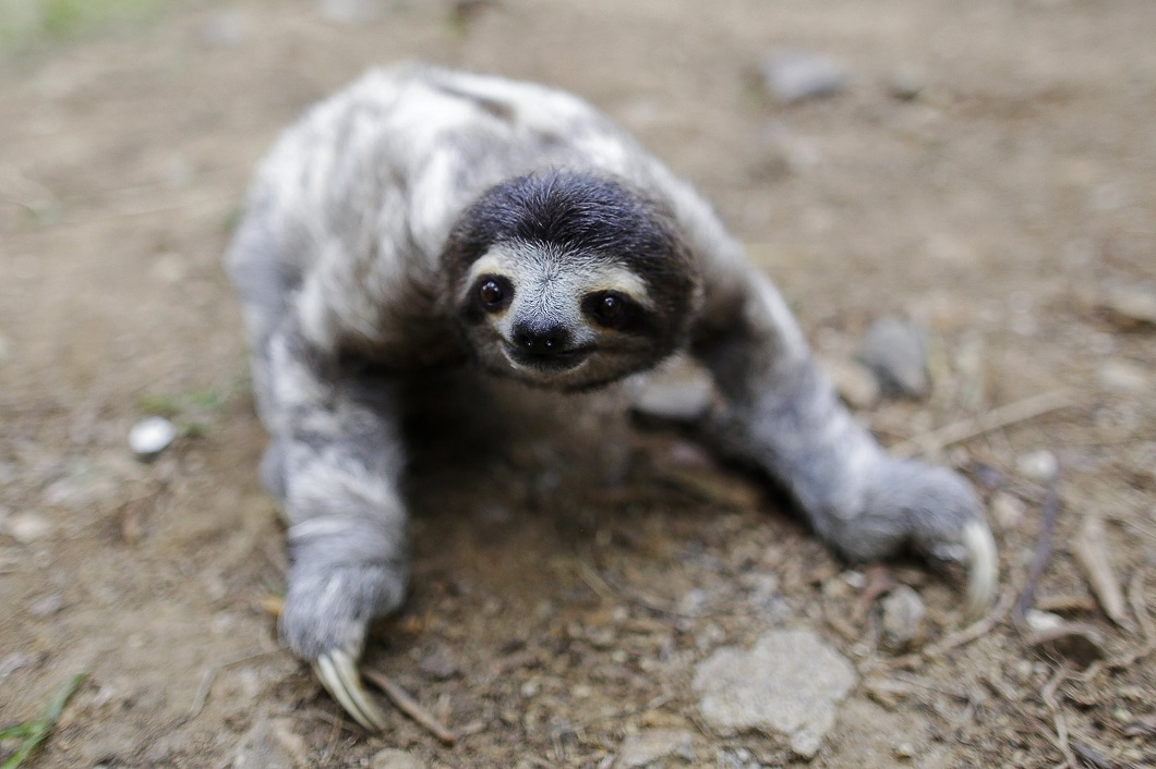 A three-toed sloth named Coquito is seen crawling during his rehabilitation at the Panamerican Conservation Association on the outskirts of Panama City