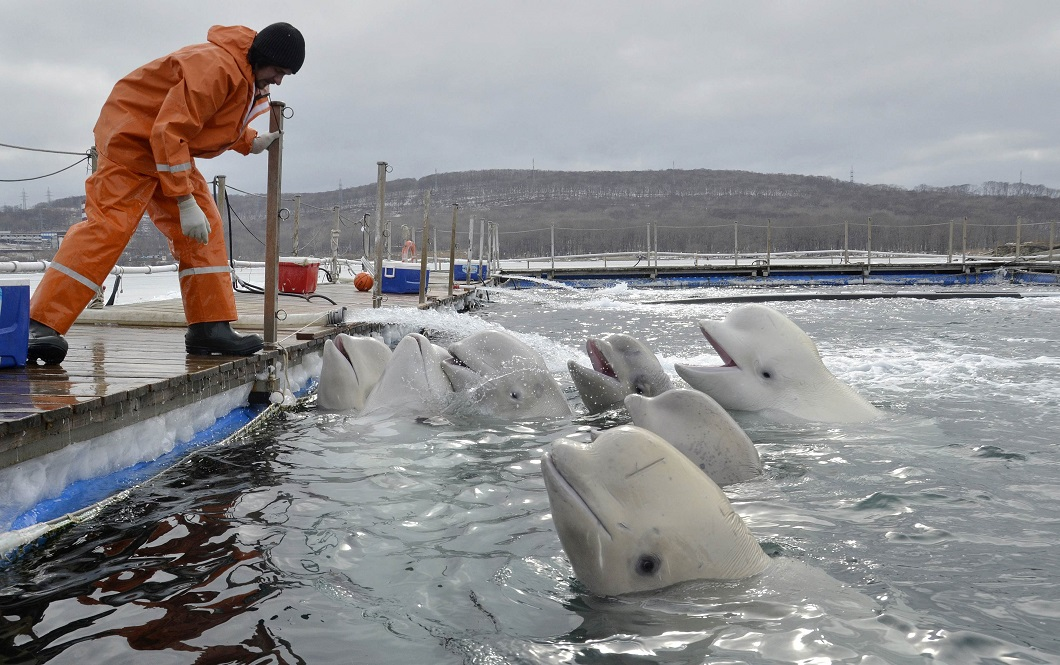 A trainer does exercises with white whales at the temporary enclosure of an oceanarium at Russky Island in the far eastern city of Vladivostok