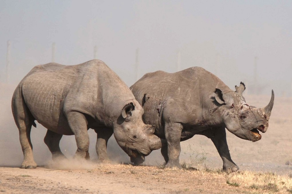 Rhinoceros battle, Laikipia County, Kenya - 20 Jan 2015