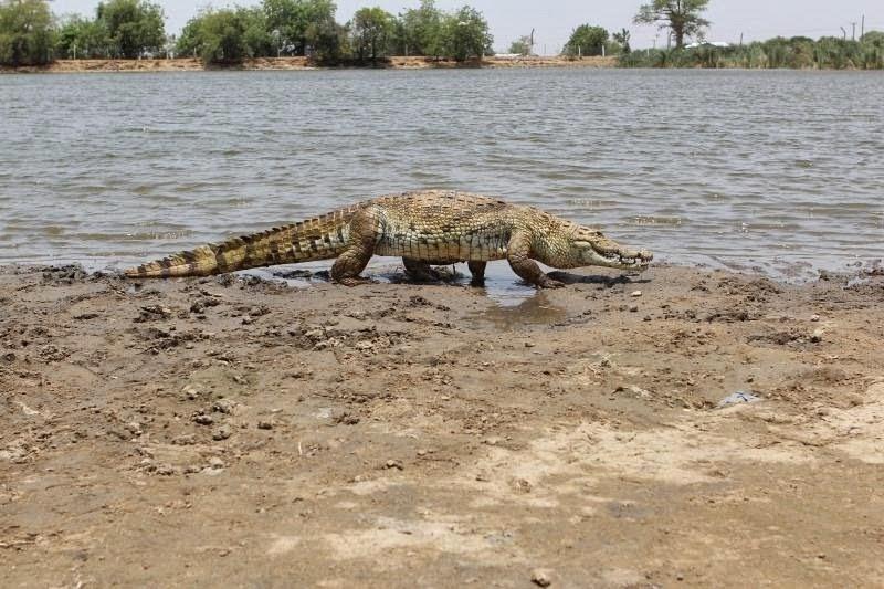 PagaCrocodiles02