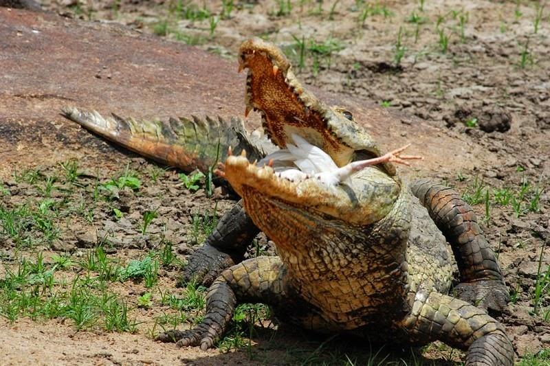 PagaCrocodiles03