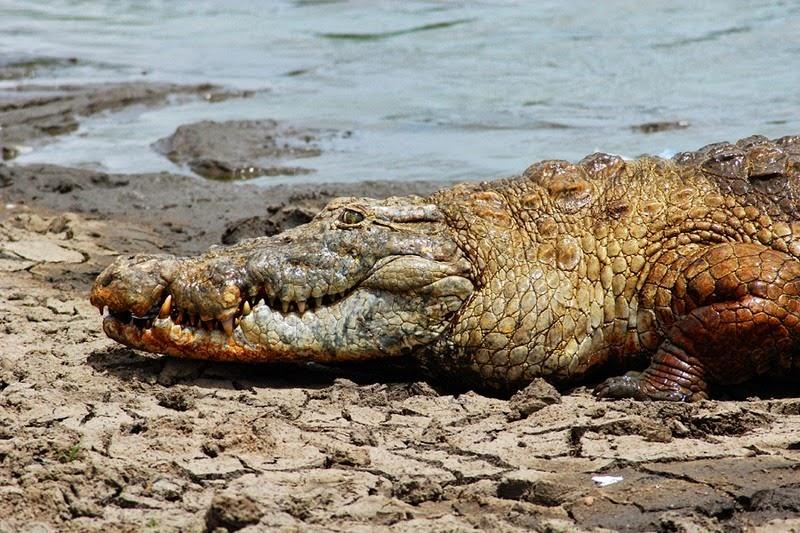 PagaCrocodiles06
