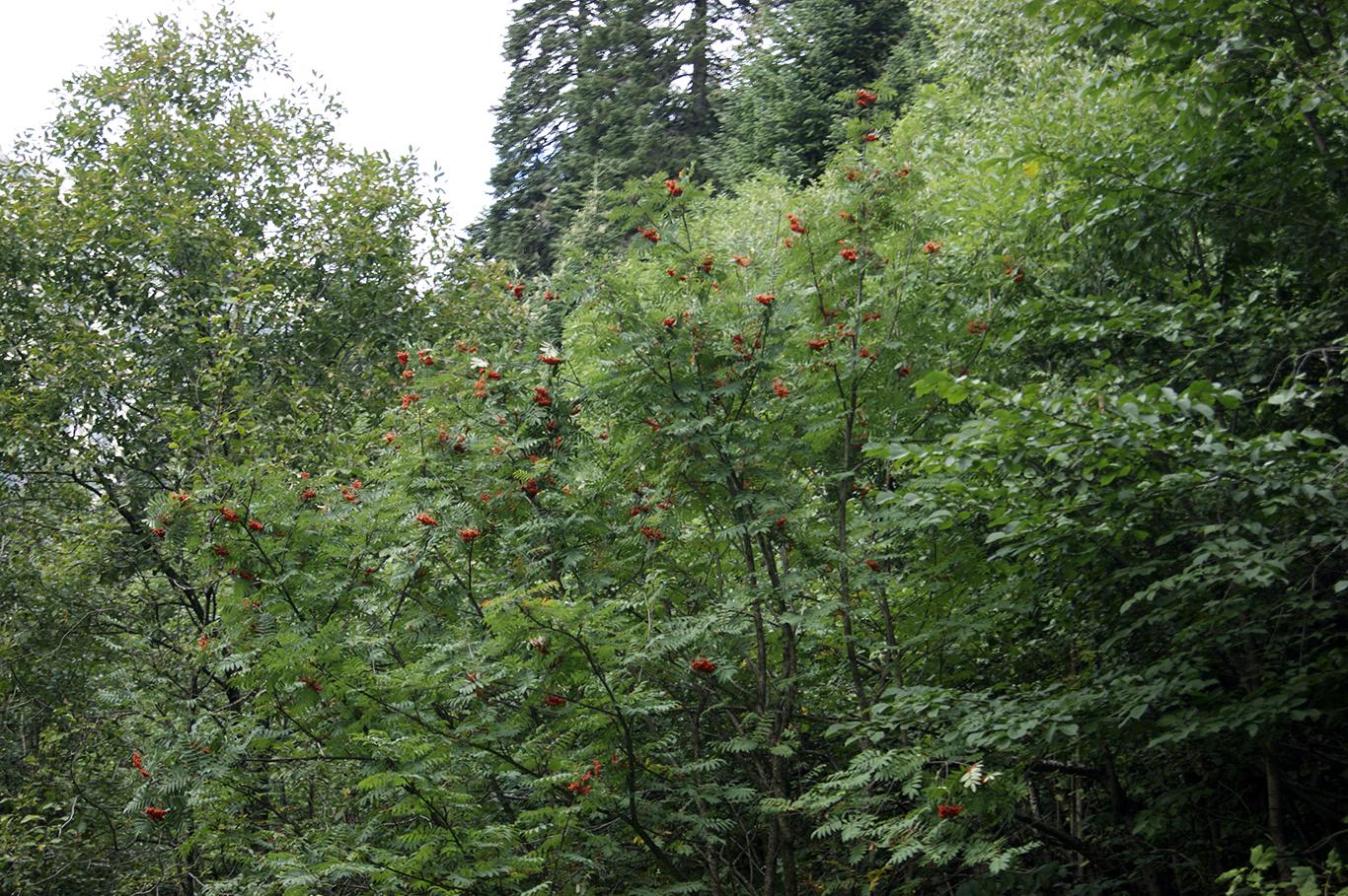 Огромное количество рябины. Пока горькой, но в походах я регулярно грызла горькие ягодки, запивая их хрустальной водой из чистейших горных рек.