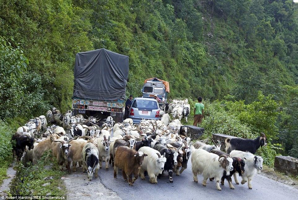 Стада коз регулярно становятся причиной заторов в час пик между городами Покхара и Наяпул в Непале.