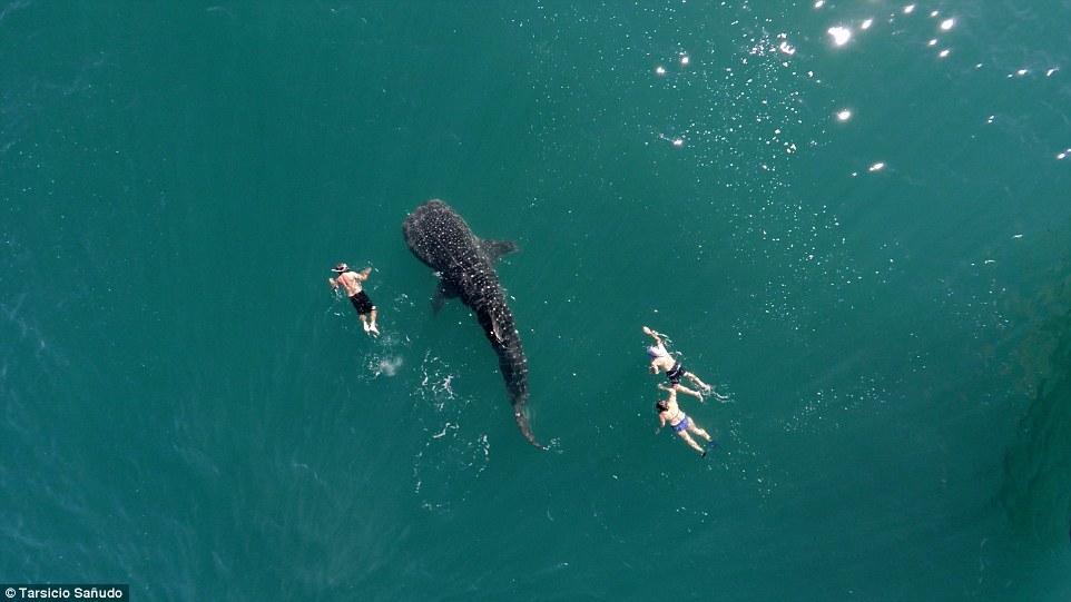 Китовая акула. Автор: @postandfly