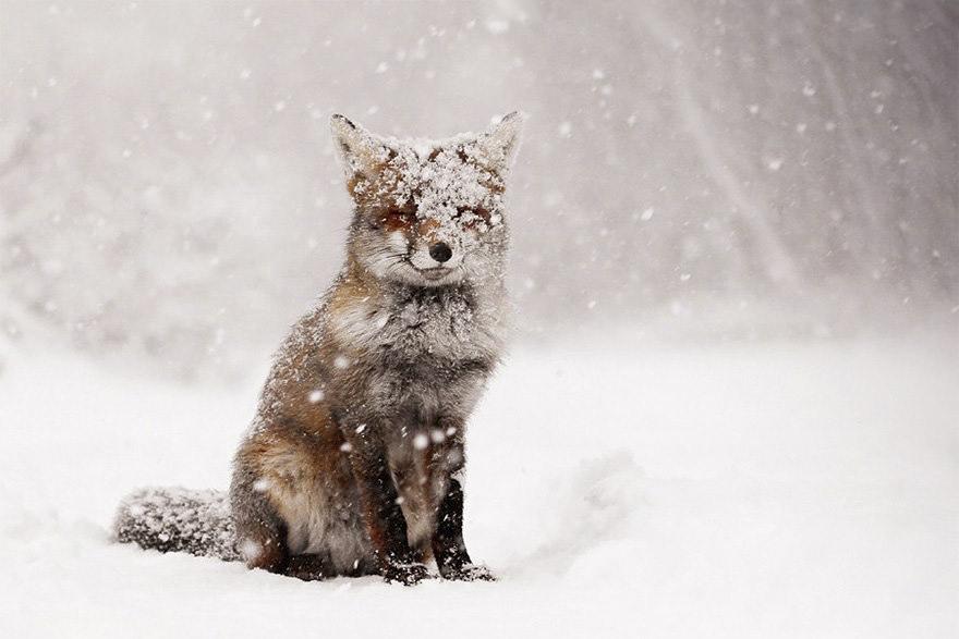 winter-fox-photography-1-585256d2ab1d6__880