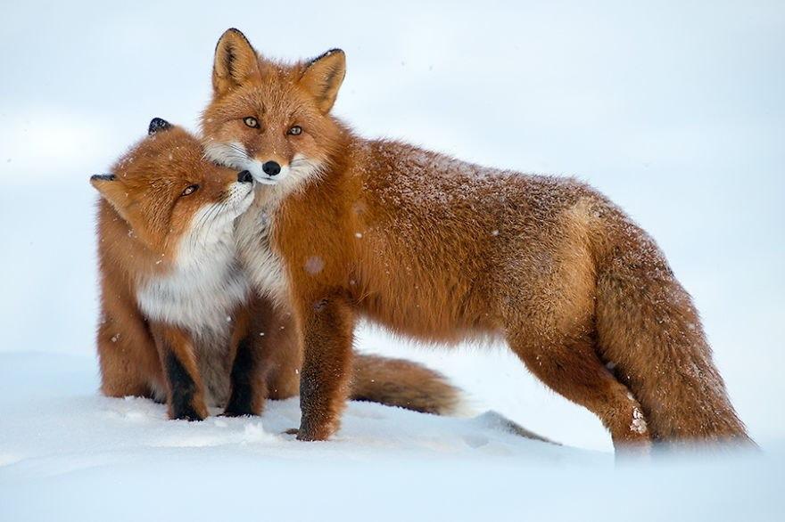 winter-fox-photography-10-585256e828efb__880