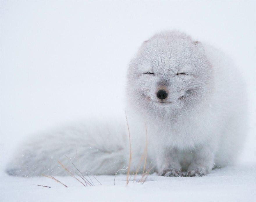 winter-fox-photography-11-585256ea8ad4d__880