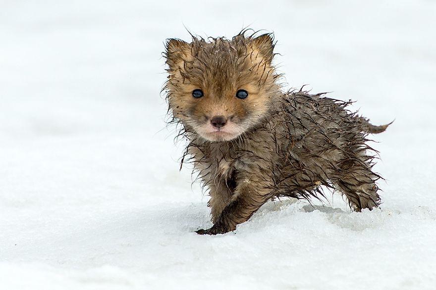 winter-fox-photography-14-58525abe67ead__880