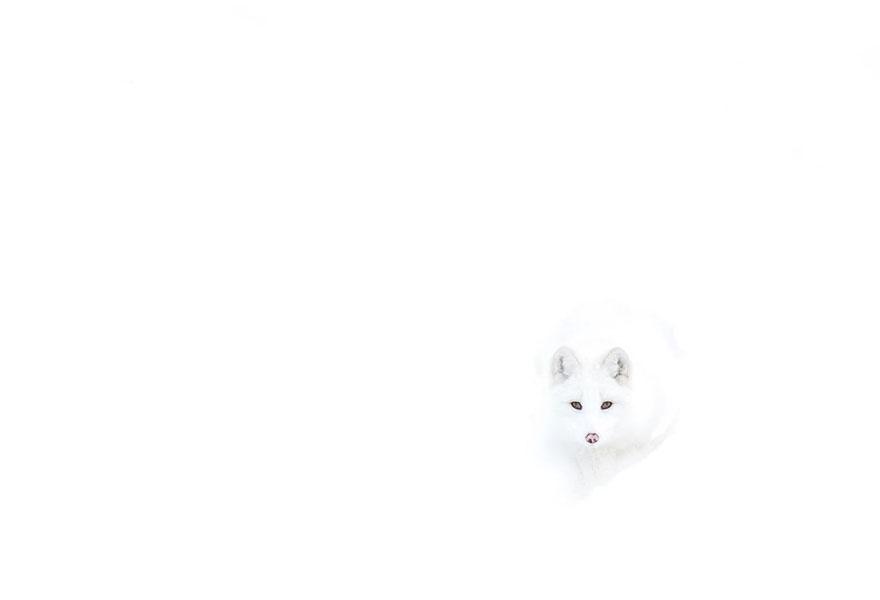 winter-fox-photography-170-585402bf97c7f__880