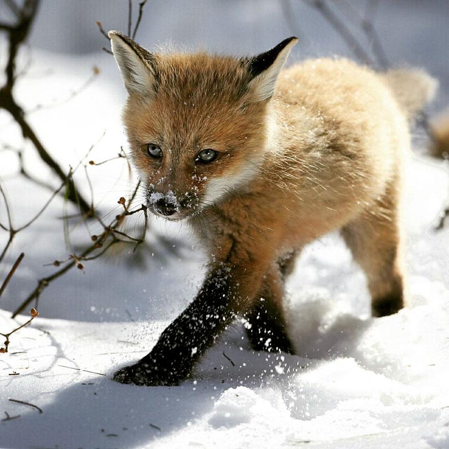 winter-fox-photography-23-5852627b67801__880