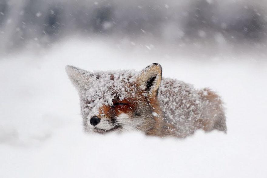 winter-fox-photography-3-585256d689277__880