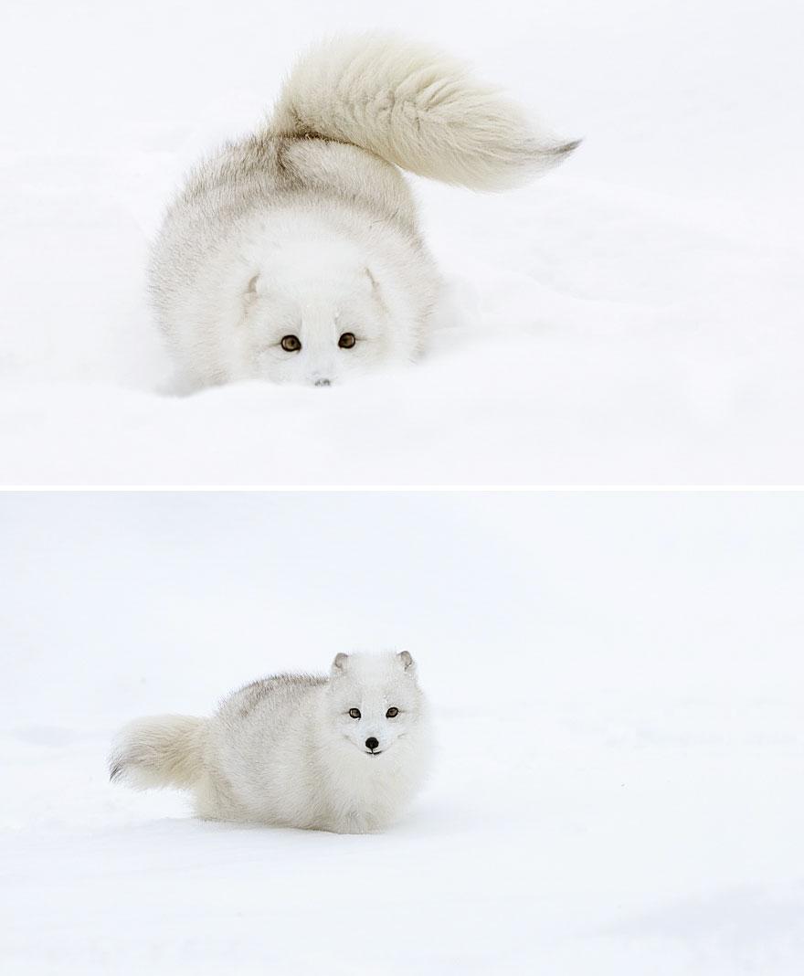 winter-fox-photography-30-5852947304235__880