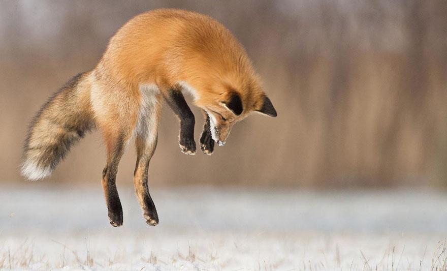 winter-fox-photography-38-5852a4c619ea9__880