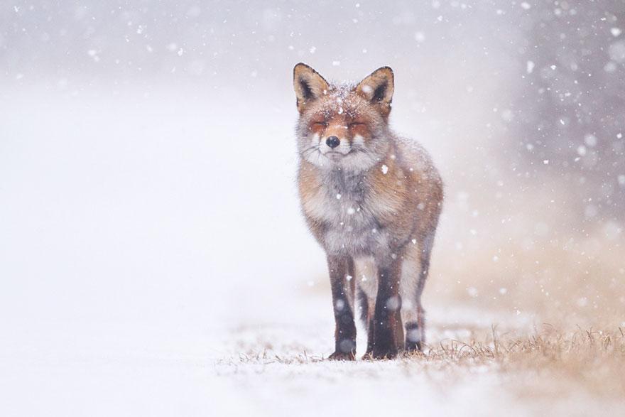 winter-fox-photography-4-585256d8cb933__880