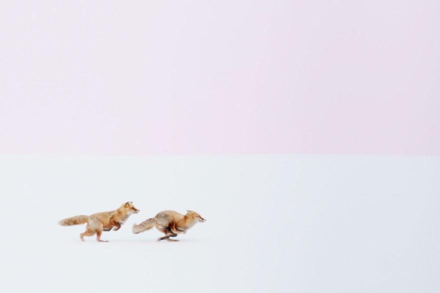 winter-fox-photography-7-585256df43559__880